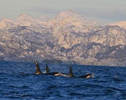 orka grijze walvis